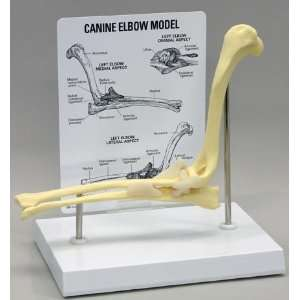 Canine Elbow Anatomical Model Dog  Industrial & Scientific